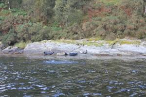 Seals-on-Loch-Long